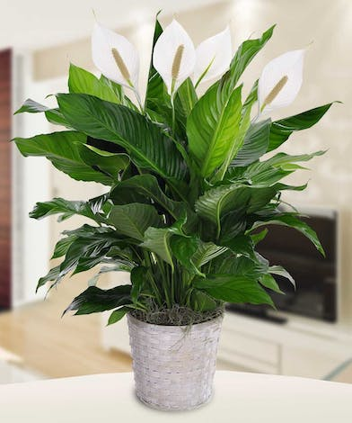 Spathophyllums are our most popular green plant.  Spath harvest was destroyed end of summer 2017 by hurricane, and  will take almost till end of summer to regain blooms.