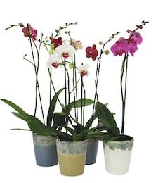 Petite Orchid Plant